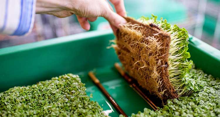 La capacidad de cultivar en un lugar tan pequeño se debe a la Hipodromia LED, que utiliza luz en lugar de tierra. / Foto: The New York Times.